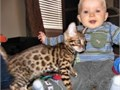male and female Bengal kittensAll our kittens are caring and loving  they will change your home T