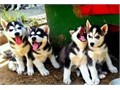 Siberian Husky puppiesTop quality male and female Siberian Husky puppies Nice
