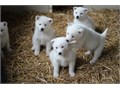 Litter of Akita inu  puppies avilable for good home  they are in perfect health condition  317-207