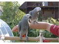 absolutely stunning African grey breed baby are hand reared only 16 week old ready for go to new hom