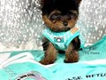 Hello Male and female Yorkie puppies ready to go homeContact if interested only at270-681-782