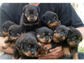 Rottweiler puppies Call or text 402 892-7664 if interested in the puppies Ready to go now Puppi