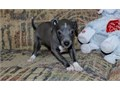 We have beautiful Italian greyhound puppies for sale They are vets check and up to dates on shots