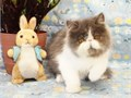 Adorable PlayfulSweet Show Quality Long Haired Purebred Kitten from CFA Champ