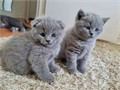 Fantastic Scottish FoldsPure female and male Scottish Fold kittens available nowKittens already h