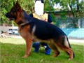 Imported German Shepherd Stud available for approved females only
