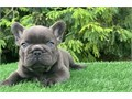 Lovely chunky puppies ready to be rehomed into a loving family Can be seen with their mum and dad i