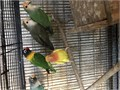Im selling peach faced lovebirds for 80 each Theyre also 9 months old