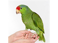 Baby Red Crown Amazon Parrot  2 Months Old Hand Fed Hand raised Tame  Very Friendly That Not Bi