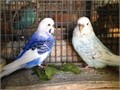 I breed individually  selectively over 50 pairs of parakeets for more color  size variations -You