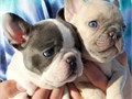 affordable french bulldog puppies are ready for new homes from a litter of 5 and just 2left all com