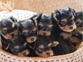 We have purebred Yorkie  puppies for adoption They are very playful and lovable always seeking att