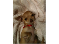 Minnie is a small tan female Chihuahua last seen in Simi Valley in 2011  She is microchiped Minnie