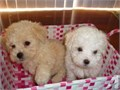 HYPOALLERGENIC MALTIPOO PUPPIES AVAILABLE TEXT PREFERRED ON WEEKDAYS OR EMAILs