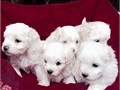 Cute Maltese Puppies is ready for it new home please interested contact us at 8134308887 for more i