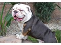 English Bulldog stud service OUR NEW 100 PREGNANCY WARRANTY OR YOUR MONEY BACK AKC This is a Blue