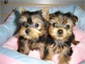 Adorable and succulent Teacup Yorkie puppies ready for new homes Both parents have excellent pedigr