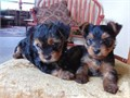 YORKIE PUPPIES FOR SALE MALE AND FEMALE THEY ARE SO CUTE MOM AND DAD ABOUT 5 POUNDS they are