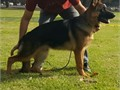 AKC german shepherd male 6 month old Fathers sch 3IPO 3mother IPO 1  35006262712324