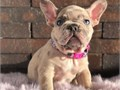 friendly and playful frenchieslilac is super excited to meet new parentsshe has been dewormedhas