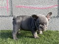 Great Price ON A MALE ALERT Mr Rock lilac and tan great addition to your home small short and com