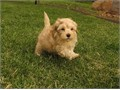 Puppys name LaceyBreed Golden RetrieverPoodleAge 8 weeks oldRegistry naEstimated adul