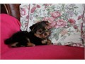 Healthy Free YorkiesCute adorable 3 month old Yorkies need a new home because I need to go in for c
