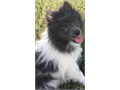 Pomeranian pup  fem 3 and half month old  rare gray and white  very sweet loves people and oth