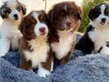 Super cute australian shepherd puppies available and ready to go to a new family member that will ta