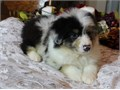 Austra- lian- Shep pups Text only at213 878-4666