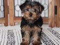 YORKIE PUPPY FOR SALE MALE HE WILL BE 7 POUNDS FULL GROWN GREAT PERSONALITY HEALTH GUARANTEE UP