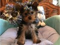 Enthusiastic Yorkie puppies for a lovely home they comes with all the papers they are micro chippe