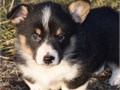Meet these beautiful puppies They are friendly energetic and full of life Each of these pups are