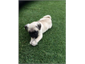Beautiful PUG female is gorgeousUp to date on all vet carevaccinations dewormings The puppy leav