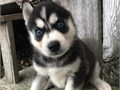 Husky platinum Ready to go now Beautiful little boys and girls Brought up around our dogs and childr