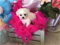 TINY MALTESE PUPPIES FOR SALE PUPPIES FOR SALE MALE FEMALE  9 WEEKS OLD YOU WILL FALL IN LOVE