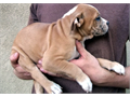 Olde English bulldogge puppy male 9 weeks old red and white shots de wormed tails docked 50000 500