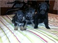 german shepherd pups 6 weeks old today 112616  ckc registered  traditional and black females 1