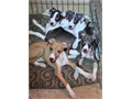 Italian Greyhound Puppies Pure Bred Top Pedigree Born 06112017 Four Pups Now Available For Adoptio