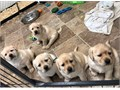 they are all Akc registered and still 10 weeks old ready to be rehome 818-676-9146