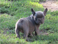 French Bulldog puppy 8 wks old blue male available to reserve Only to a loving home