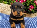 HEARTWARMING Rottweiler puppies availableThese puppies akc registered  vet checked and will come w