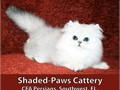 Shaded-Paws Cattery only has one Shaded Silver male kitten still available from a litter of Persian