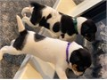 323 539-3347Hello we have adorable babies Jack Russel Puppies looking for their favorite homes