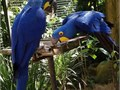 Young pair Hyacinth Macaw parrots Anodorhynchus hyacinthinus Available These babies Hyacinth are
