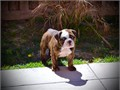English Bulldog Male Female  250000 mackbulliescagmailcom