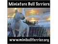 TOP Quality Mini Bull TerriersSTARTING at 3500 each SERIOUS BUYERS ONLYvisit wwwMiniBullTer