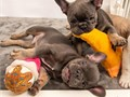 French bulldog puppies for sale 9093403629