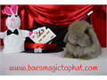 Available I have a sweet dwarf Holland Lop available to good homes only Contact me if interested