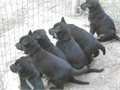 AKC German Shepherd Puppies Working Bloodlines AKC Full Reg Health Gaurantee ShotsWorming UTD W